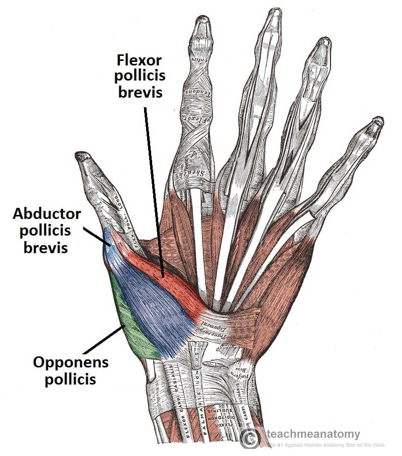 Palmar-View-of-the-Thenar-Muscles-of-the-Thumb-and-Hand-Labelled-TeachMeAnatomy.jpg