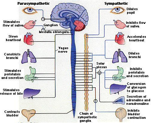 autonomic_nervous_system.png