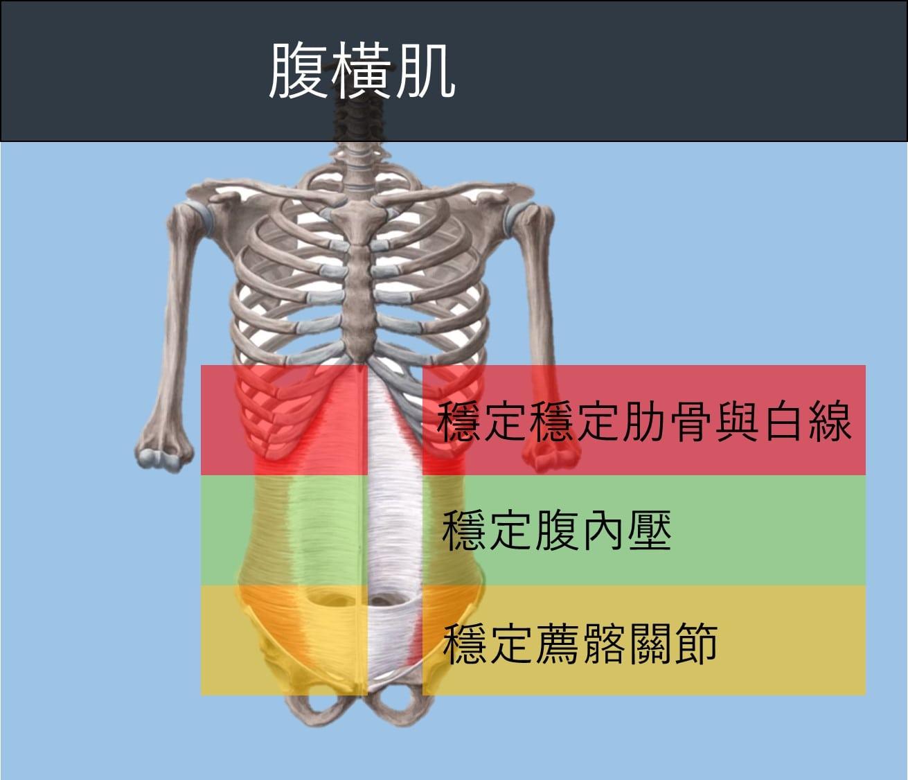 腹橫肌.jpg